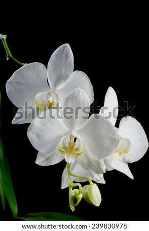 Orchid flower on black background, low key blooming orchid - stock photo