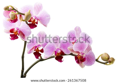Orchid flower on the white background.