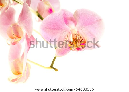 Orchid flower on the white background - stock photo