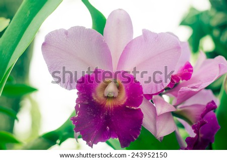 Orchid Flower, Phalaenopsis purple and pink white Stripe x hybrid Orchid flower blooming against sky  - stock photo