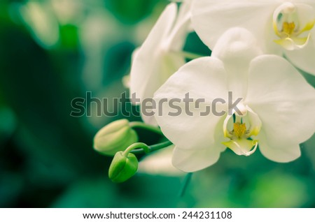 Orchid Flower, Phalaenopsis purple white Stripe x hybrid Orchid flower bloom with vintage style background - stock photo
