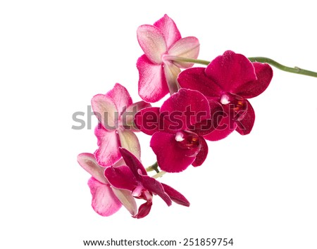 Orchid flower red color isolated on white background - stock photo