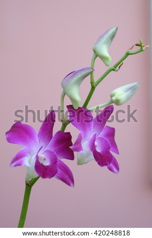 orchid flower thailand. beautiful orchid. blooming orchid flower. purple orchid. orchid flower in garden. - stock photo