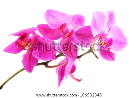 Orchid  flowers, close up, isolated on white background - stock photo