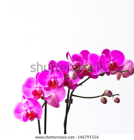Orchid flowers, isolated on white background. art photography