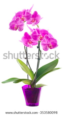 Orchid in a flowerpot. Isolated on white. - stock photo