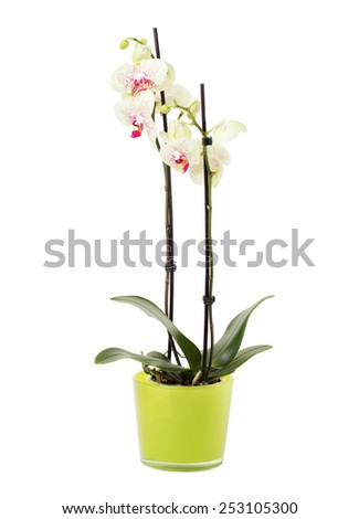 Orchid in green flowerpot on white background, isolated on white