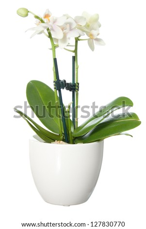 Orchid in pot isolated on white background - stock photo