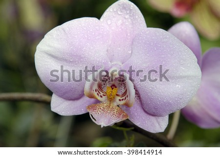 Orchid in the Kiev botanical garden greenhouse. Tropical flower. - stock photo
