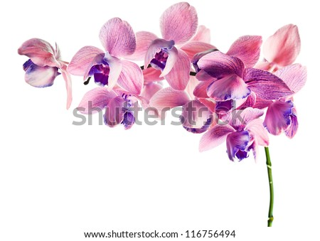orchid isolated on a white background , (phalaenopsis) - stock photo