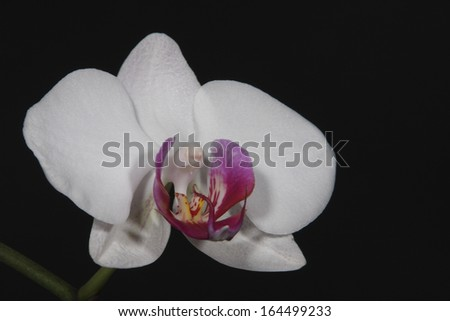 Orchid isolated on the black background