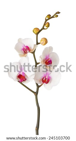 Orchid, isolated on white blackbackground - stock photo