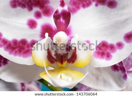 orchid macro - stock photo