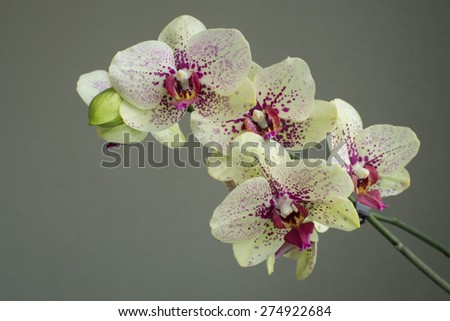 Orchid on a gray background - stock photo