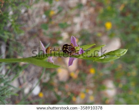 Orchid Ophrys apifera - stock photo