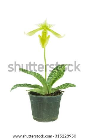 Orchid Paphiopedilum on white background - stock photo