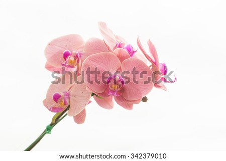 Orchid phalaenopsis beautifiul flowers