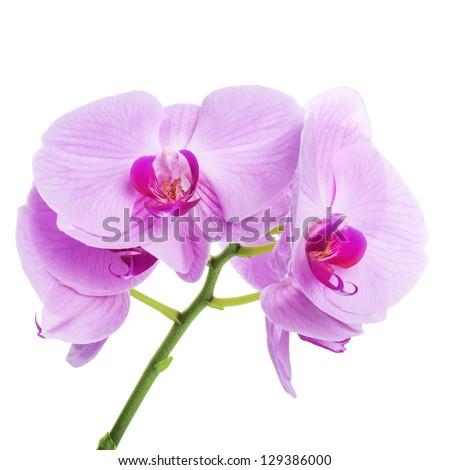 Orchid phalaenopsis beautifiul flowers isolated on white - stock photo
