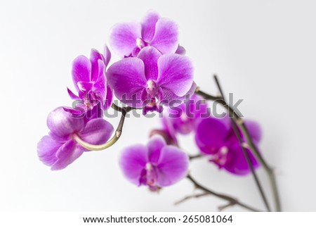 Orchid Phalaenopsis Beautiful blooms of the phalaenopsis pink orchid, with a grey background. - stock photo