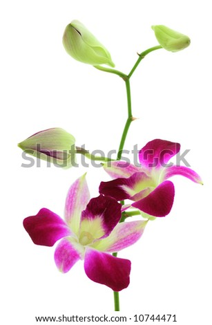 Orchid with two open flowers and three buds isolated over white - stock photo