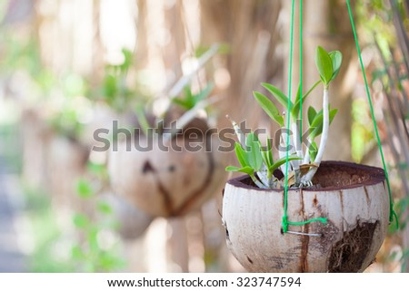 Orchids in pots. Pots made from coconut. Hanging in the garden - stock photo