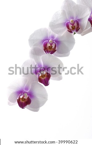 Orchids (phalaenopsis) isolated on white background