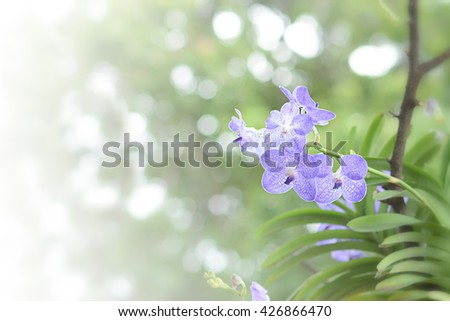 Orchids purple ,orchids purple Is considered the queen of flowers in Thailand  - stock photo