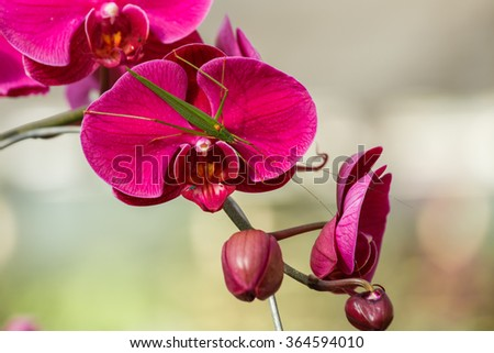 Orchids,Vanda -Vanda orchids are Orchids in the family (Orchidaceae), which is not large genus (about 50 species). - stock photo