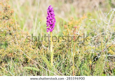 Orchis mascula, the early-purple orchid, here seen in dry surrounding with juniper, grass and herbs. - stock photo