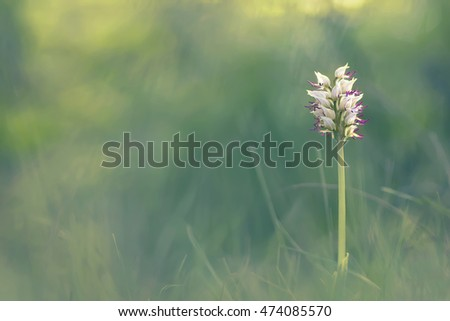 Orchis simia Crimean rare flower in the April woods
