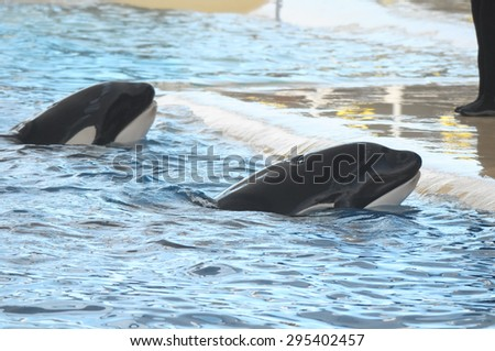 Orcinus Orca Whale on a very Blue Water
