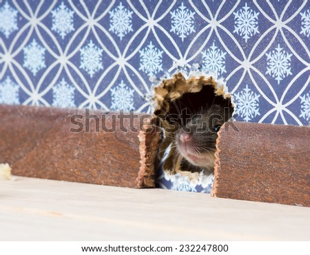 Ordinary house mouse (Mus musculus) nose pokes through a hole in the wall - stock photo