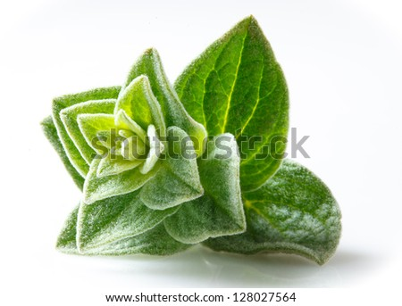 Oregano closeup on white background - stock photo