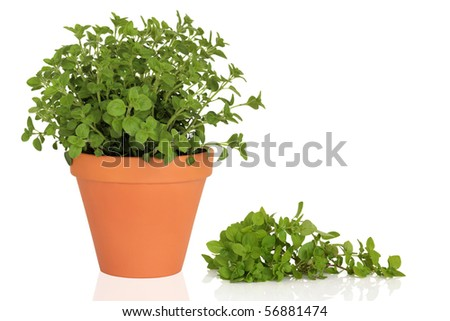 Oregano herb plant in a terracotta pot with leaf sprig, isolated over white background. - stock photo
