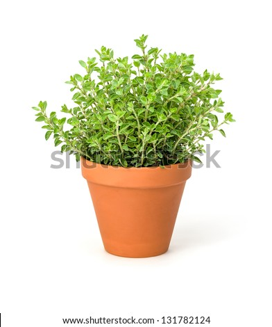 Oregano in a clay pot - stock photo