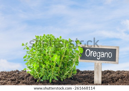 Oregano in the garden with a wooden label - stock photo