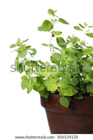 Oregano plant in a clay pot. Short depth of field. - stock photo