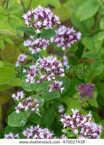 Oregano scientific name Origanum vulgare is a common species of Origanum, a genus of the mint family (Lamiaceae).