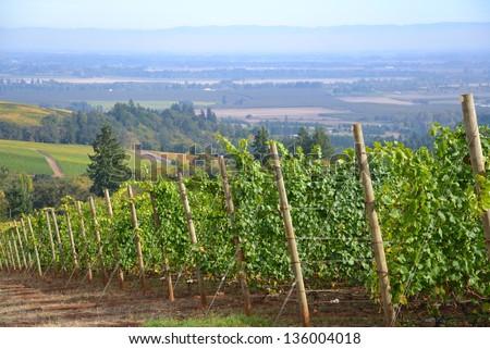 Oregon Pinot Noir Vineyard - stock photo