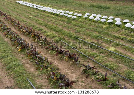 Organic agriculture with drip irrigation - stock photo