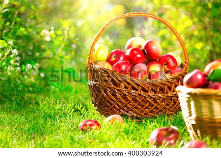 Organic Apples in a Basket outdoor. Orchard. Autumn Garden. Harvest season concept. Harvesting. Picking red apples in summer orchard. Green Grass  - stock photo