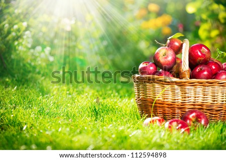Organic Apples in the Basket.Orchard.Garden.Space for your text - stock photo