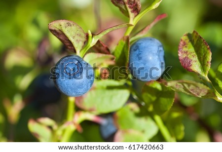 Organic blueberries in forest
