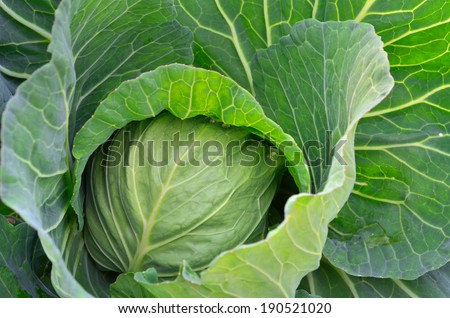 Organic cabbage on the field ready to harvest