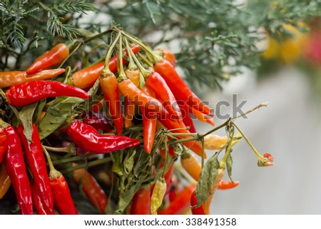 Organic chili pepper plants growing red hot peppers - stock photo