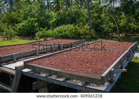 Organic cocoa beans sun drying on a farm in the Solomon Islands - stock photo