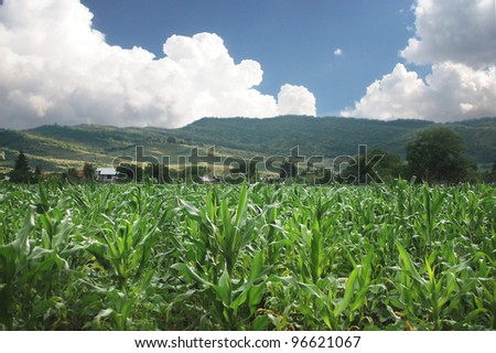 organic corn field in summer