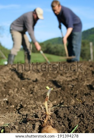 Organic ecological farming, planting last year's selected crop by hand, sprouting potato in focus, farmers hoeing in background - stock photo