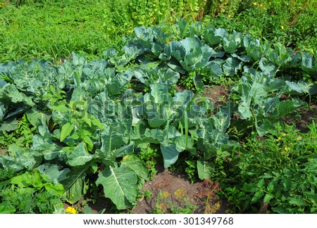 Organic farming. cabbage on a garden bed. - stock photo