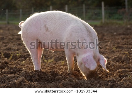 Organic free range pig outdoors in muddy farm field snuffling for food